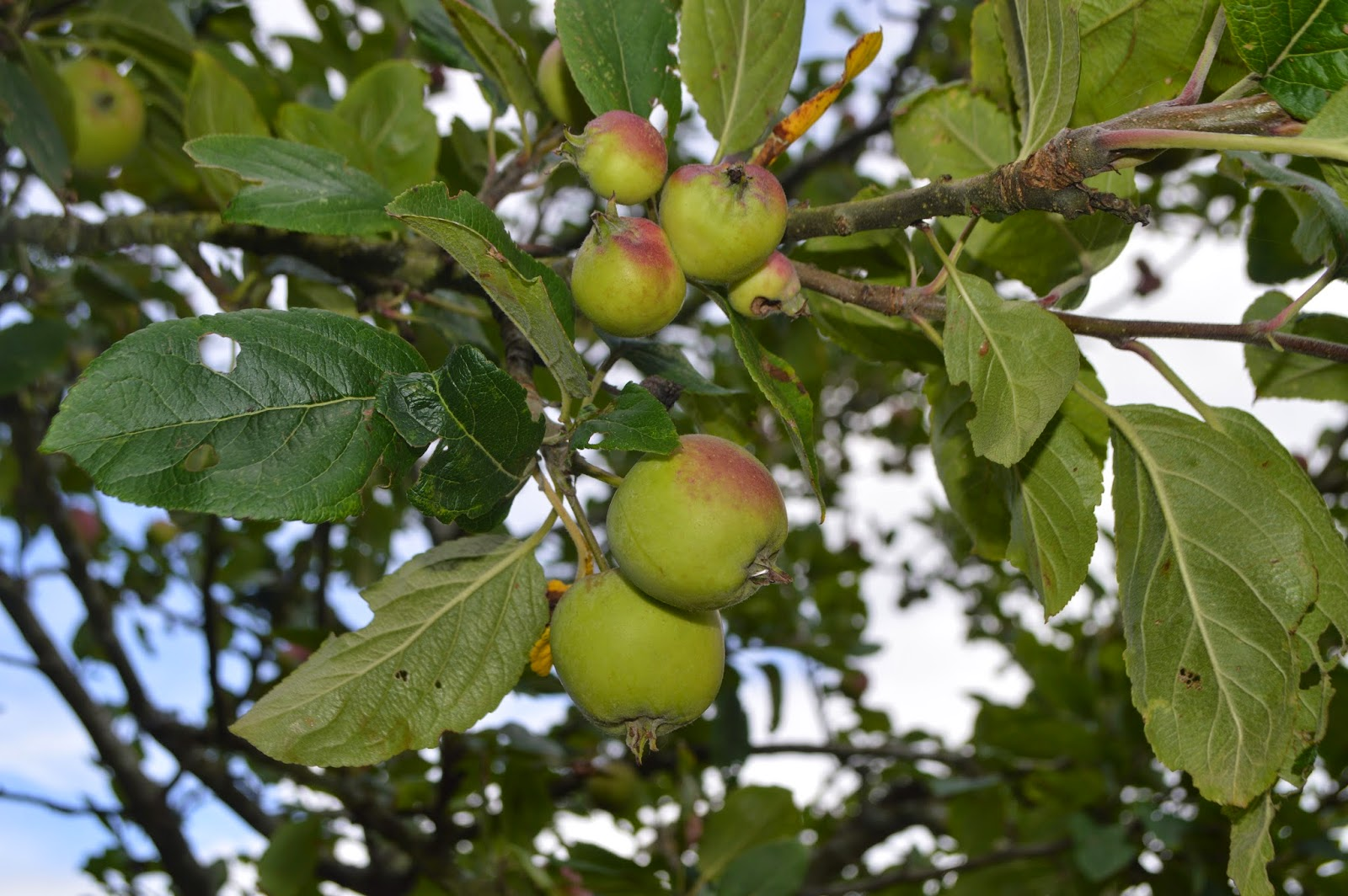 crab apples, Blackberry Picking, Neyland, Marina, Pembrokeshire, Crumble, Apple Pie, Baking, country kids, Wales