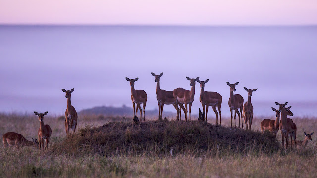 Herd of impalas in Masai Mara National Reserve, Kenya (© Jonathan & Angela Scott/Getty Images) 607