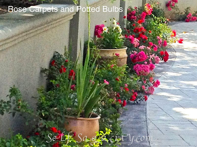 Rose carpets and potted bulbs