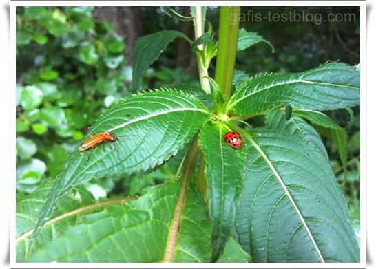 zwei Käfer