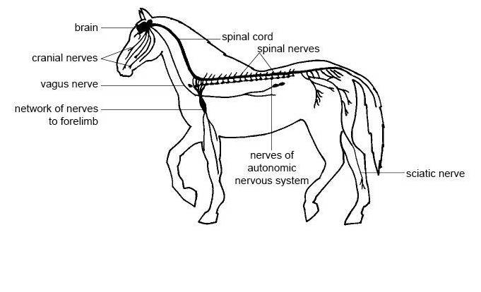 animal care plc  nervous and endocrine system