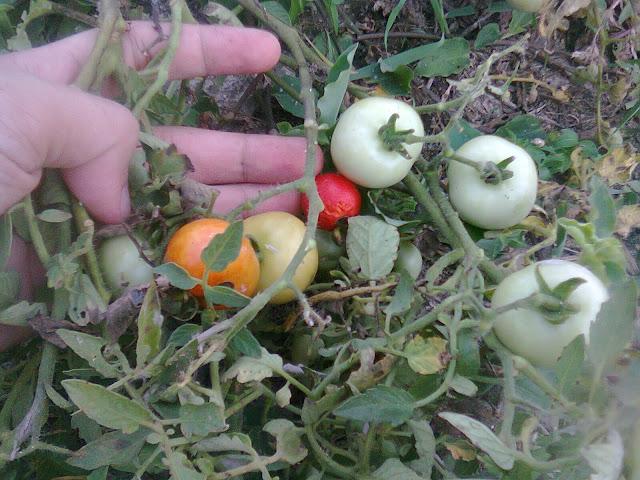 Macam dan Jenis Buah Tomat di Indonesia-Nusantara