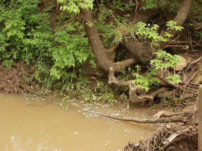 Roots in the Creek Bed