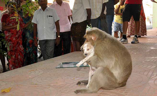 قرد المكاك يتبنى جروا صغيرا بالهند Monkey_Adopts_Puppy-