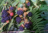 Delicious blackberries ripening in the countryside
