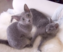 Russian Blue
