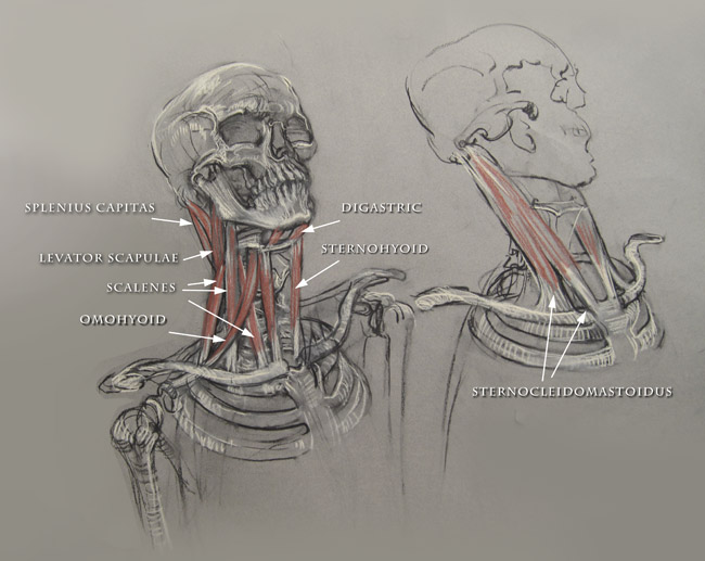 Artistic Anatomy Muscles Of The Neck Anterior