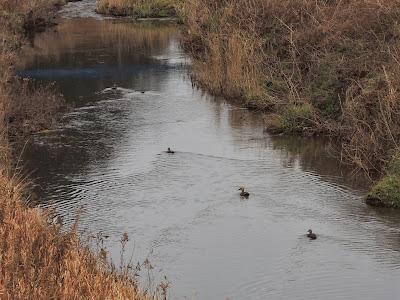 釜戸川の鴨