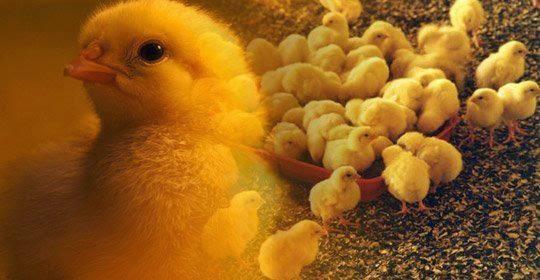 pembibitan ayam broiler