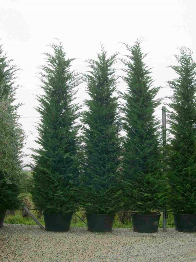 Colchicum (sedir ağacı): Bitki dikimi ve bakımı 38
