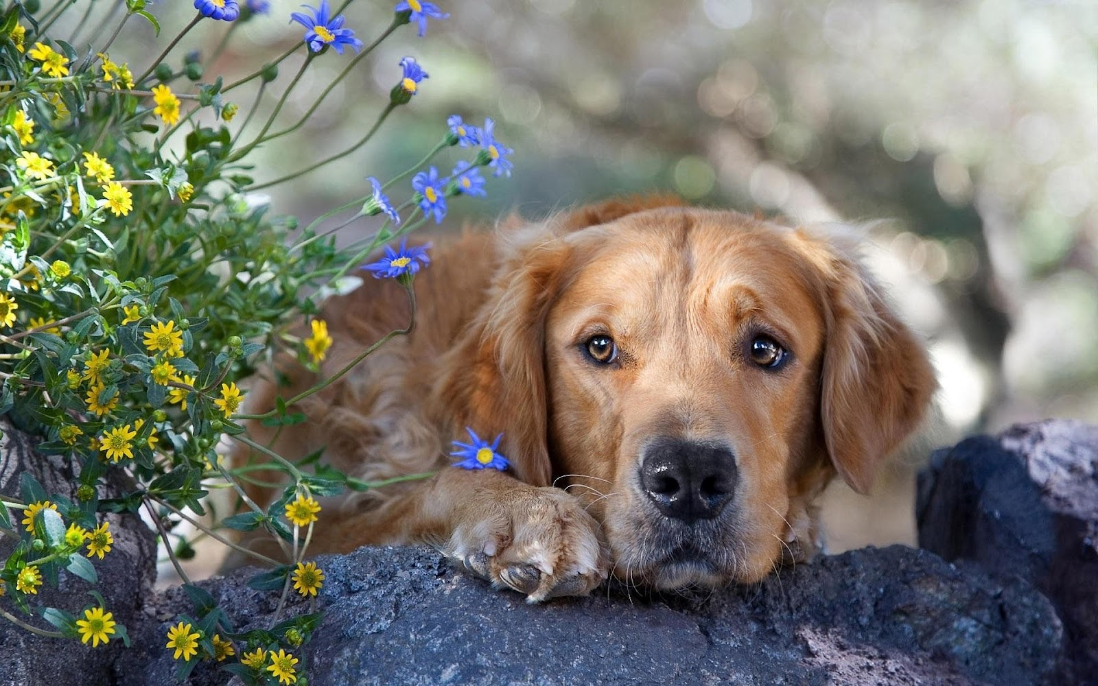 Dog on the rocks with flowers hd animals wallpapers wallpaper of a dog lying on a rock with flowers beside him a cute dog background in hd for pc tablet or smartphone please share it if you like the photo voltagebd Choice Image