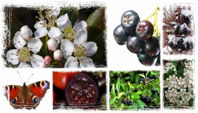 Arónia čiernoplodá má kvietky podobné jabloni a plody sú tmavé modré, vzhľadom podobné jablku. Najviac krík opeľuje motýľ babôčka pávooká, ktorá po dozretí plodov zvykne krík navštevovať, aby z plodov pila šťavu. Tmavo-modré plody arónie majú veľa zdravotných účinkov, ktoré budú popísané v článku.