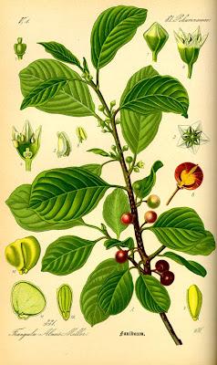 Ботанический рисунок крушины ломкой (Frangula alnus Mill.)