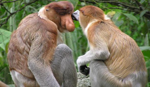 Macaco narigudo