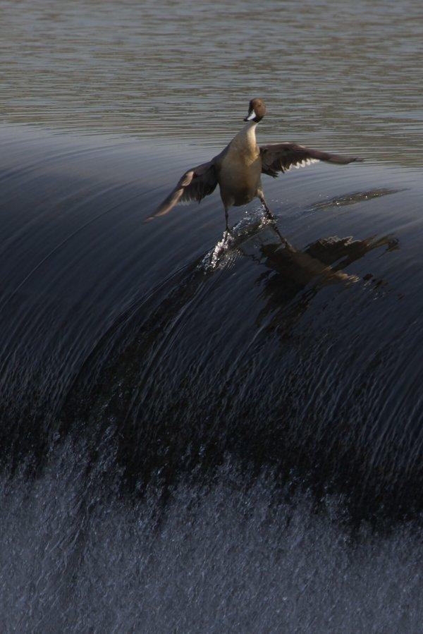 Water Surfing Duck