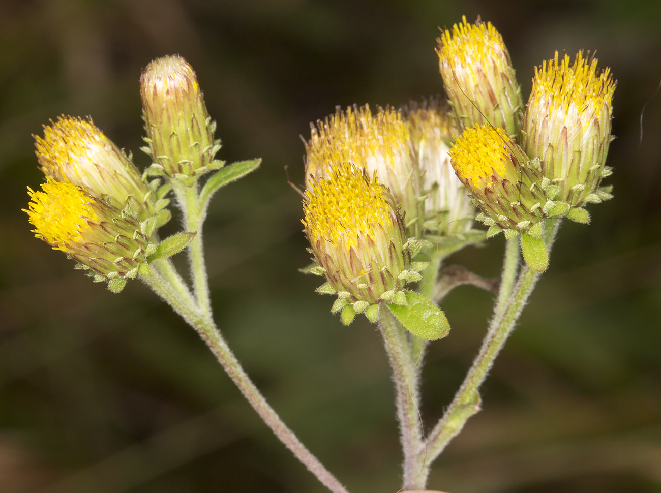 Ploughman's Spikenard, Inula conyzae.  Near Downe, 23 August 2014.