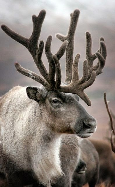 Just love reindeer ...
