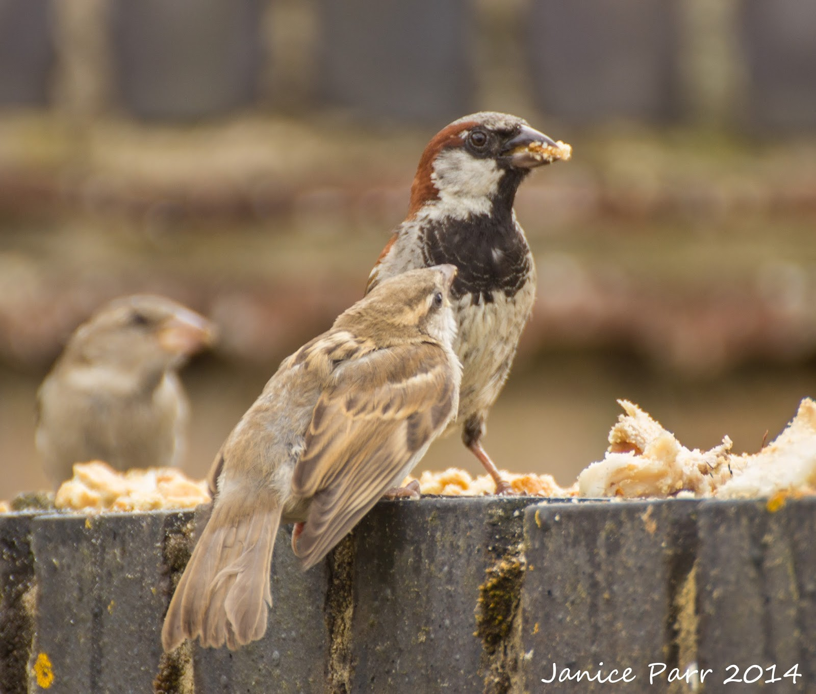 The nature around me male house sparrow feeding juvenile ham fat on her garden wall for the birds here in east anglia in the uk recently we were privileged to watch a male house sparrow feeding a juvenile thecheapjerseys Image collections