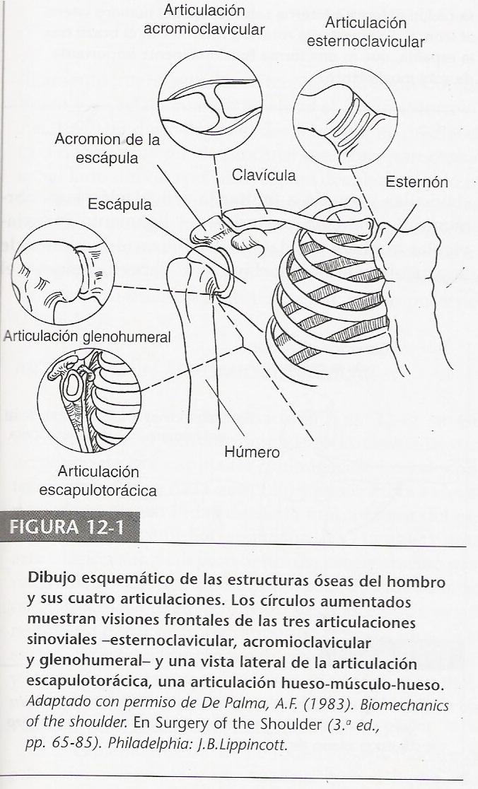 Biomecanica del MMSS: Biomecanica del Hombro