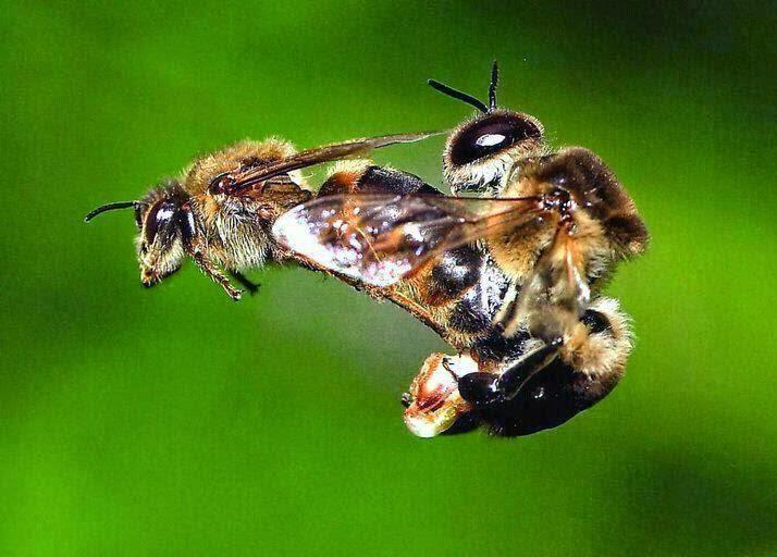 Seksual Lebah Madu
