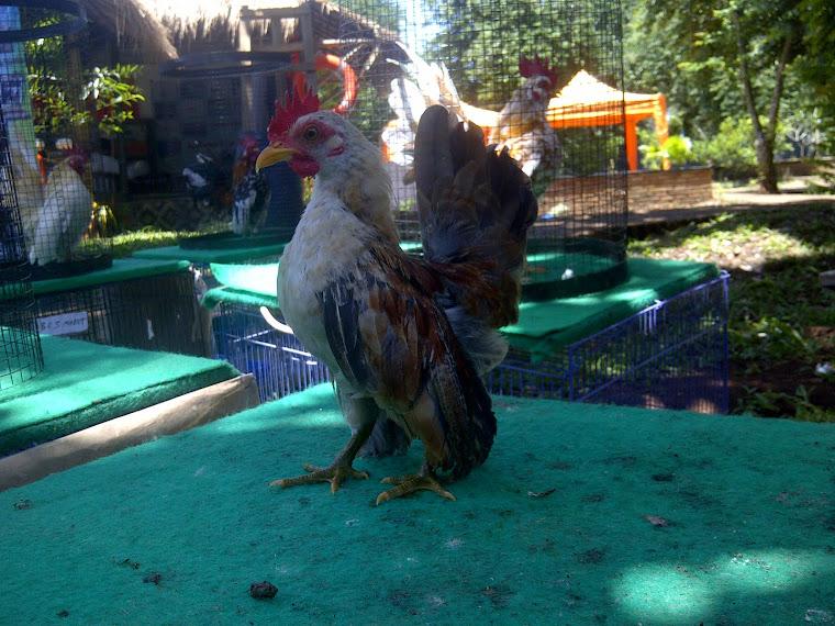 DiJual Ayam Serama Caezar
