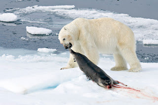 Orca Eating Polar Bear Here is a polar bear dragging