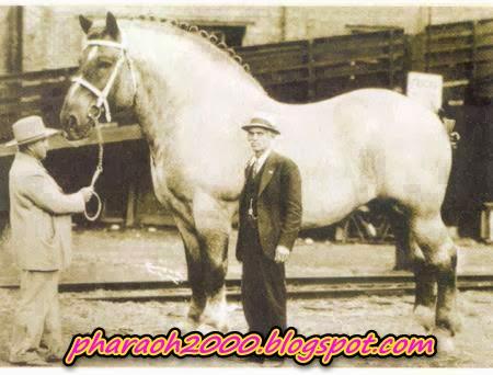 صورة أكبر حصان في تاريخ العالم ألتقطت عام 1928