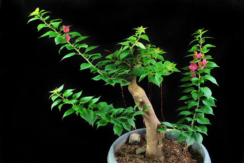 Bougainvillea Bonsai - Informal Upright