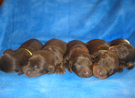 NY miniature dachshund puppies