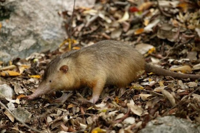 Solenodon paradoxus (Mamfero venenoso)