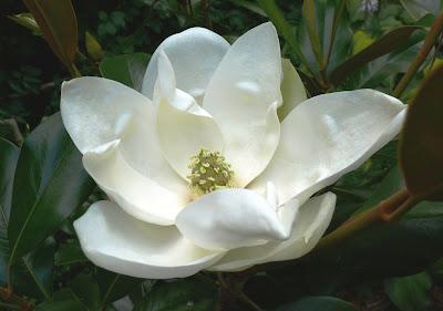 Magnolia Grandiflora White Flower Picture