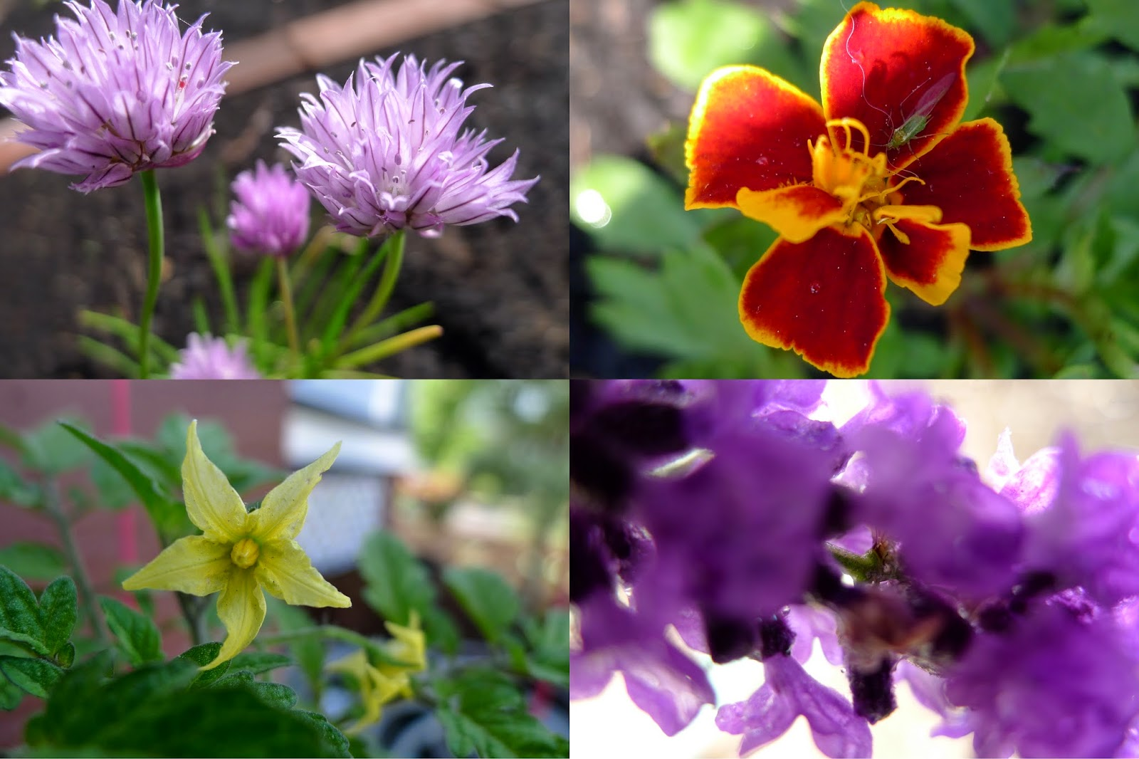Flowers in the vegetable garden, urban farming, edible flowers, roma tomatoes, chives, marigolds, lavender