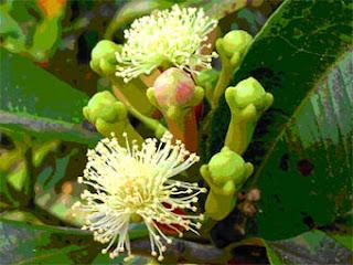 Klasifikasi dan Morfologi Tanaman Cengkeh (Syzygium aromaticum)
