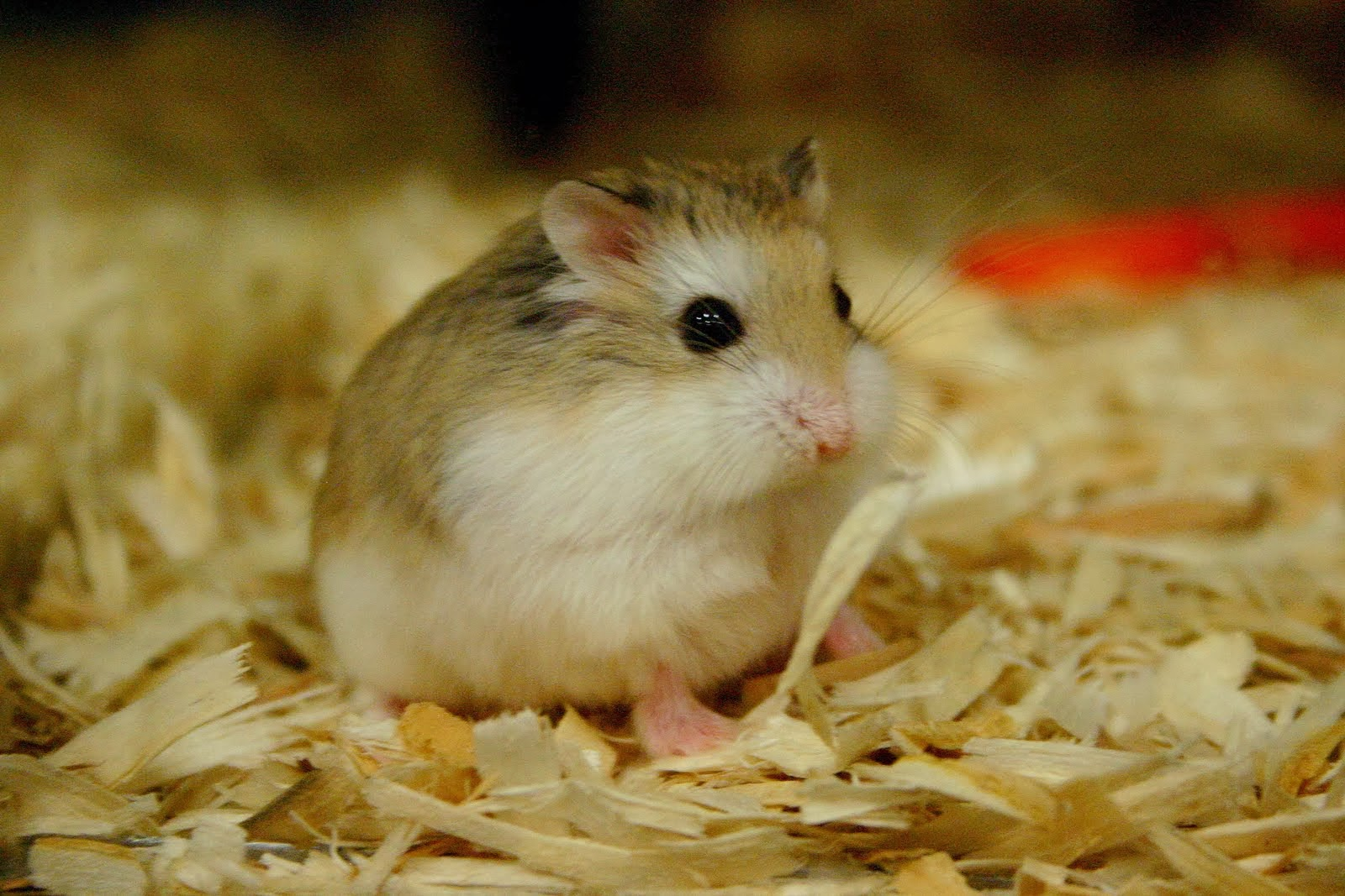 how tall is roborovski hamster