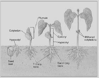 Laporan Pertumbuhan pada Tanaman Kacang Hijau dan Jagung
