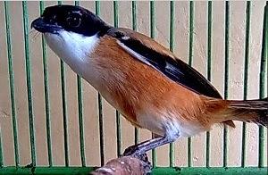 Cara Paling Ampuh Agar Burung Cendet Cepat Gacor
