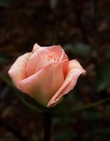 fotografii cu trandafiri