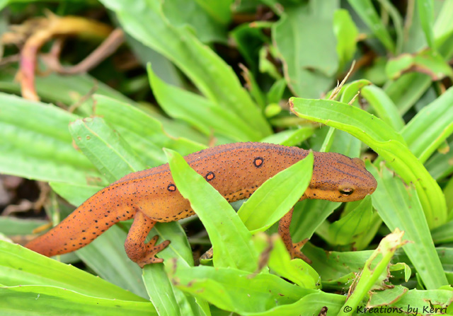 Eastern Newt aka Red-spotted Newt