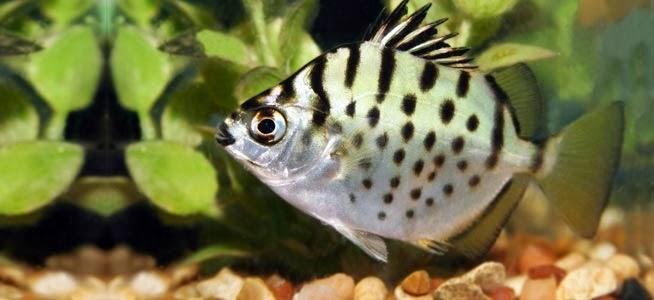 Mengenal ikan spotted scat akuarium ikan hias for Silver dollar fish tankmates