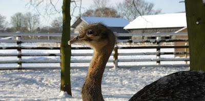 Emu. Credit: (c) Zoological Society of London