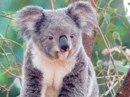 Los Koalas especie vulnerable en Australia