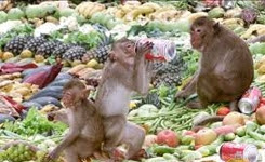 All you can eat! Monkeys relish annual buffet festival
