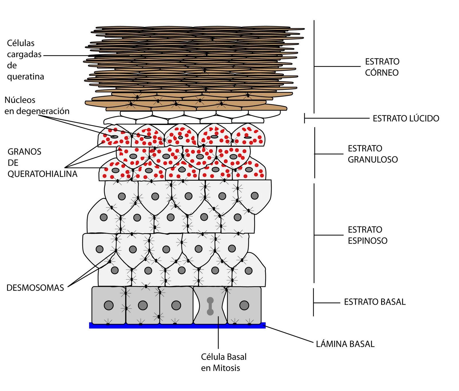 el moderno prometeo: El órgano cutáneo: anatomía de la epidermis