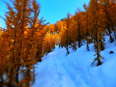 A Blur of Larches Approaching the Peak of Carne Mountain