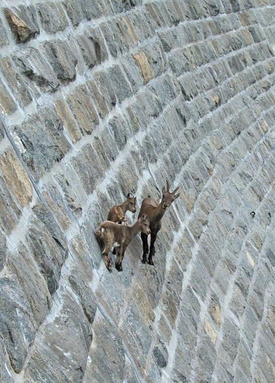 cabras acantilados miedo