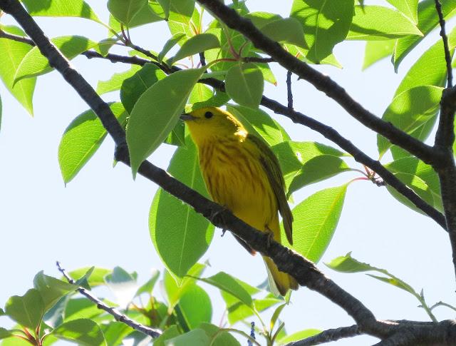 Yellow Warbler - Jamaica Bay, New York