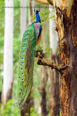 Beautiful peacock on tree
