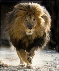 rainier lions club lion walking
