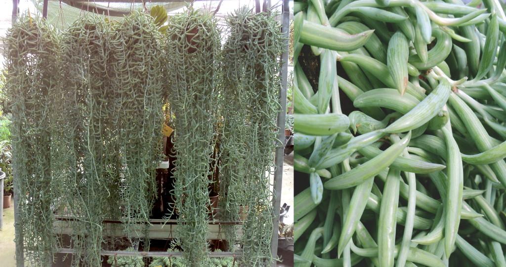 Viveros Vangarden: Nueva partida de cactus y suculentas colgantes