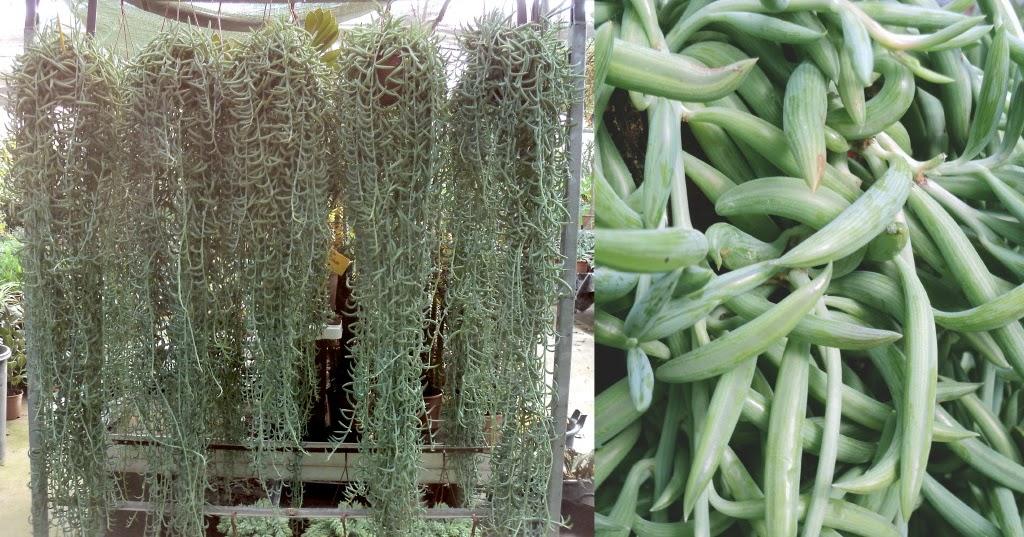 Viveros vangarden nueva partida de cactus y suculentas for Vivero de cactus